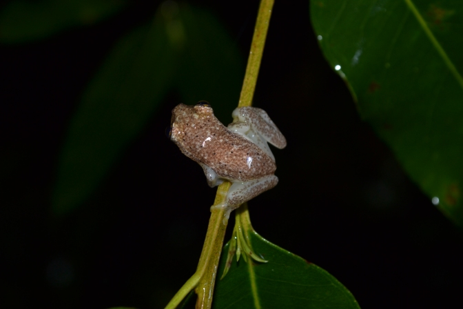 Malagasy Nature Photographs – Mitsinjo Forest Reserve & Parc a Orchidees (Night) 2