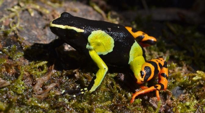 Baron's Mantella (Mantella baroni) | Madagascan Amphibian ...