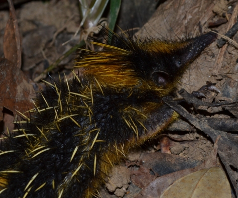 Lowland Streaked Tenrec (Hemicentetes semispinosus) male specimen. © 2015 - Joshua Ralph - All Rights Reserved.