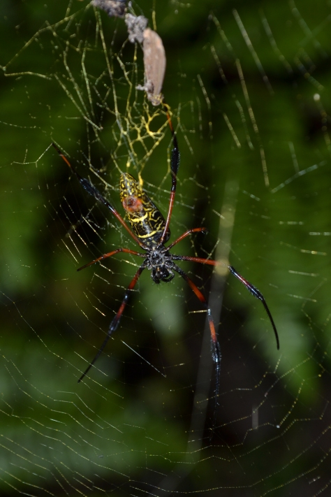 Malagasy Golden Orb Weaver (Nephila inaurata madagascariensis) specimen. © 2015 - Joshua Ralph - All Rights Reserved.