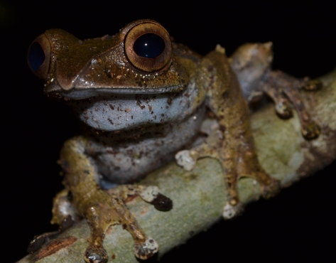 Madagascan Bright-eyed Frog (Boophis madagascariensis) male specimen. © 2015 - Joshua Ralph - All Rights Reserved.