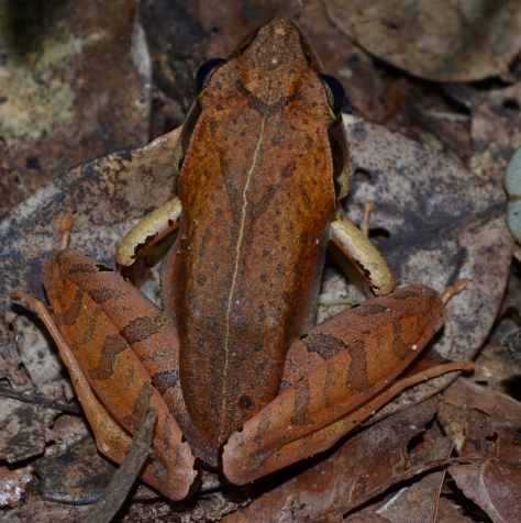 Madagascan Canary Frog (Aglyptodactylus madagascariensis) female specimen. © 2015 - Joshua Ralph - All Rights Reserved.