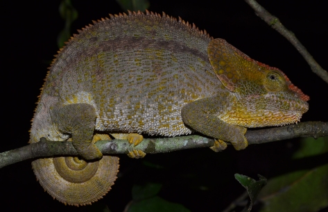 Short-horned Elephant Chameleon (Calumma brevicorne) female specimen asleep in a tree (or was). © 2015 - Joshua Ralph - All Rights Reserved.