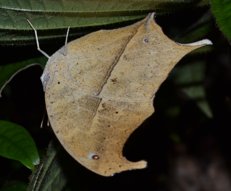 Dead-leaf Moth (Known sp.) amazing camouflage, couldnt see it at first! © 2015 - Joshua Ralph - All Rights Reserved.