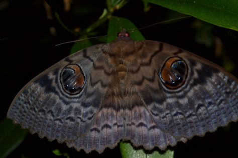 Ying & Yang Moth (Unknown sp.) I must admit, the markings are so beautiful and cryptic! © 2015 - Joshua Ralph - All Rights Reserved.