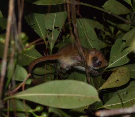 Goodman's Mouse Lemur (Microcebus lehilahytsara) specimen, I was literally only 4ft away from this. © 2015 - Joshua Ralph - All Rights Reserved.
