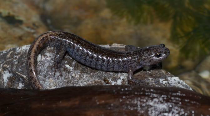 Tokyo Salamander (Hynobius tokyoensis) Care Sheet