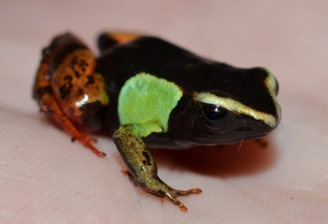 MARVELLOUS MANTELLA – Natural History, Husbandry & Reproduction of the Malagasy Poison Frogs.