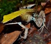 M.viridis1